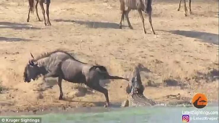 Borba krokodila i gnua