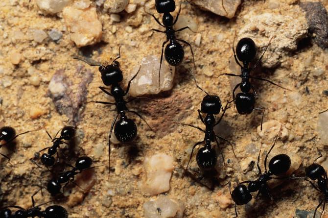 Mravi mogu da naprave veliki problem