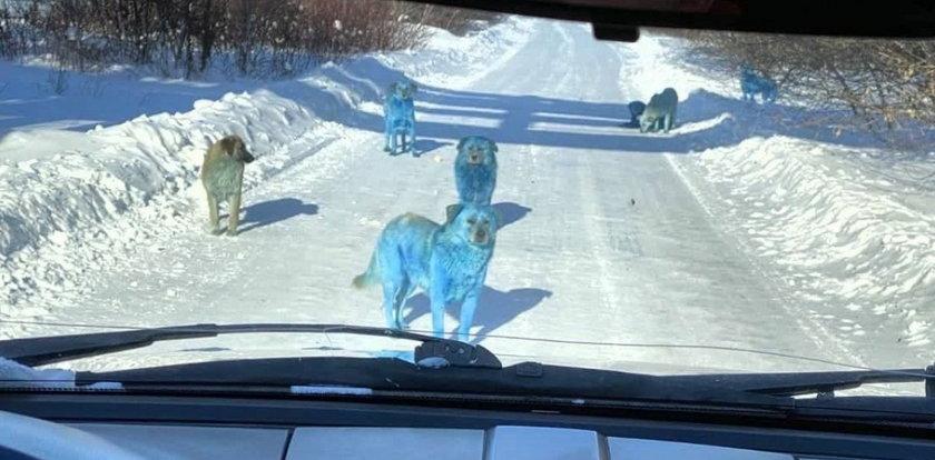 Kierowca zauważył dziwną watahę psów. Gdy podjechał bliżej, osłupiał