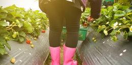 Zbieracz truskawek rażony piorunem. Miał sporo szczęścia