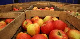 Najgorsze zbiory od dekady. Ceny jabłek szaleją!