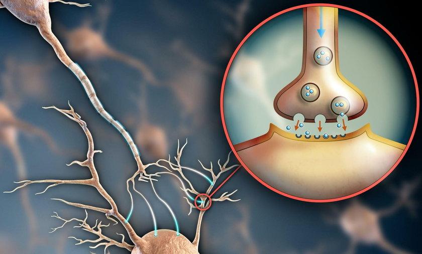 Transmisja elektrochemiczna – neurony przekazują informacje, z jednej komórki nerwowej do drugiej…