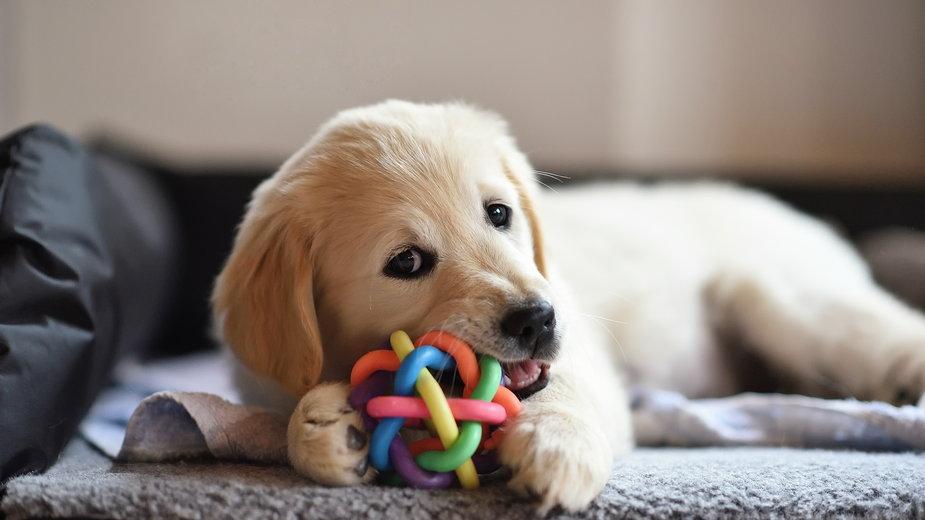 Psy dużych ras mogą rosnąć nawet do 24 miesiąca życia - photology1971/stock.adobe.com