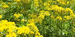 Lasy Państwowe ostrzegają przed znaną rośliną! Rośnie niemal wszędzie