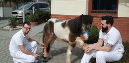 Kucyk Luis dostał nowe kopyto. Pierwszy w Polsce koń z protezą!