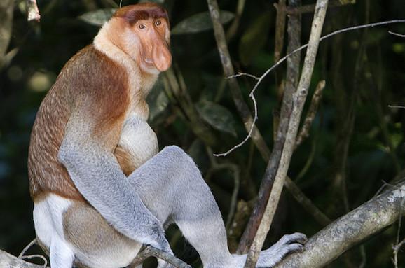 Nosati majmun