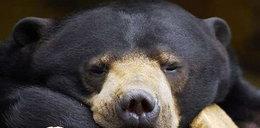 Jaki dziwny niedźwiedź! Piękny czy bestia?