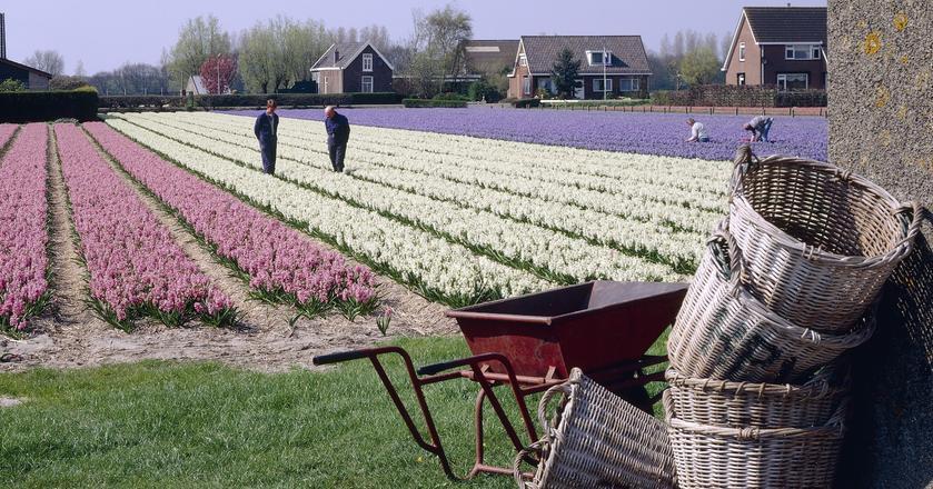 Holandia słynie z hodowli tulipanów