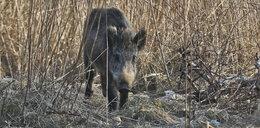 Mieszkańcy Białegostoku walczą z dzikami. Kilkadziesiąt zwierząt zostanie odstrzelonych?