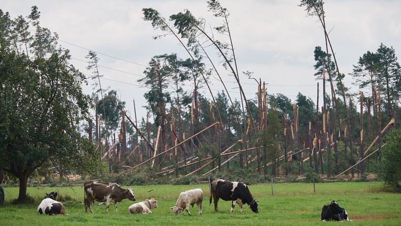 Widok na połamany fragment lasu po nawałnicy w miejscowości Rytel