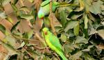 ZAVISNI OD OPIJUMA Papagaji i antilope pustoše POLJA MAKA