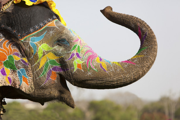 Prawie cztery na pięć słoni z ok. 3 tysięcy tych zwierząt w turystycznych miejscowościach w Kambodży, Indiach, Laosie, Nepalu, na Sri Lance i w Tajlandii cierpi z powodu przeciążenia pracą, złych warunków życia i ubogiej diety - ostrzega WAP.