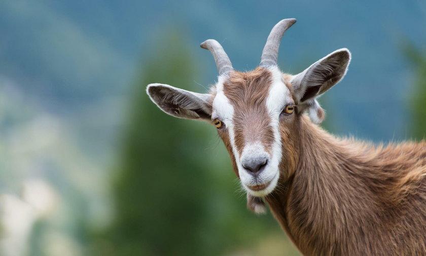 Zamiast kosiarki... owce i kozy. Nietypowy pomysł władz