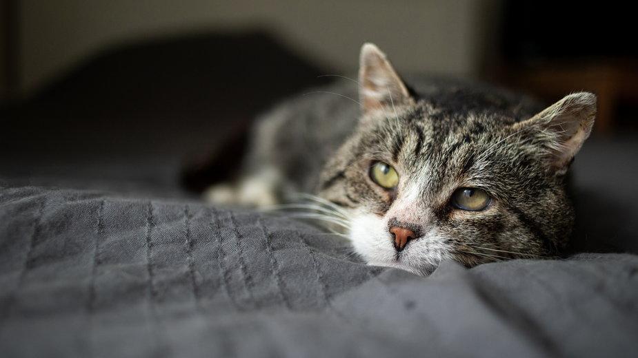 Przeliczenie kocich lat na ludzkie trzeba traktować orientacyjnie - Alexandr/stock.adobe.com