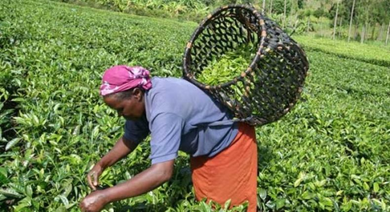 A tea worker busy at work