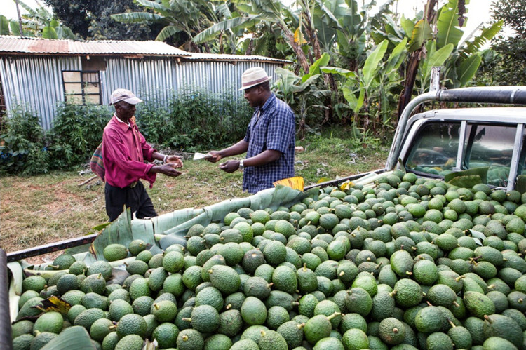 Last month China finally gave Kenyan avocados the green light to access its vast market in what was hailed as a landmark deal. (Farmers#Trend)