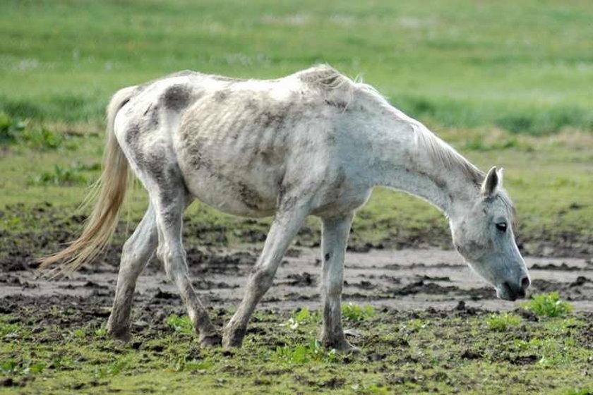 Głodzone konie