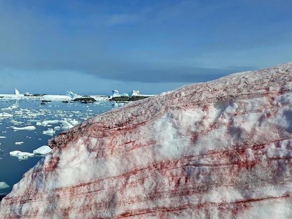 Sneg je pocrveneo zbog karotena u morskoj travi