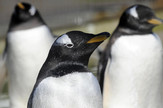 Teško je zamisliti pingvine sa perjem u drugoj boji