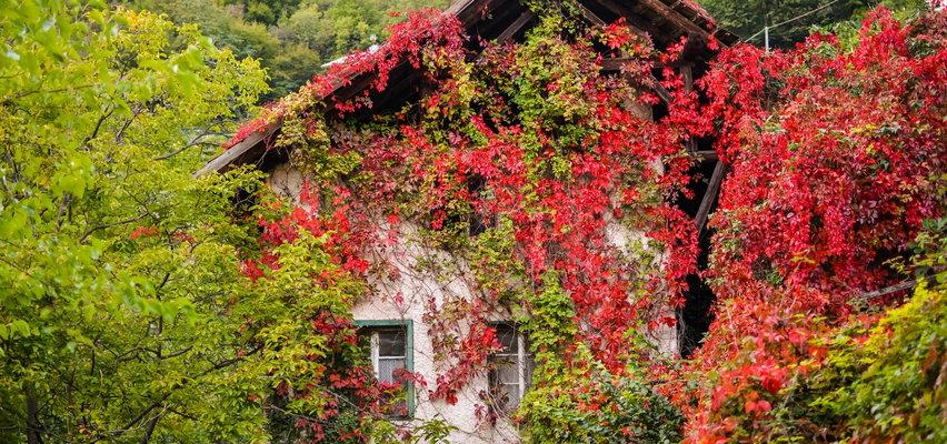 Winobluszcz – to jego liście zachwycają jesienią! Uprawa rośliny wcale nie jest trudna
