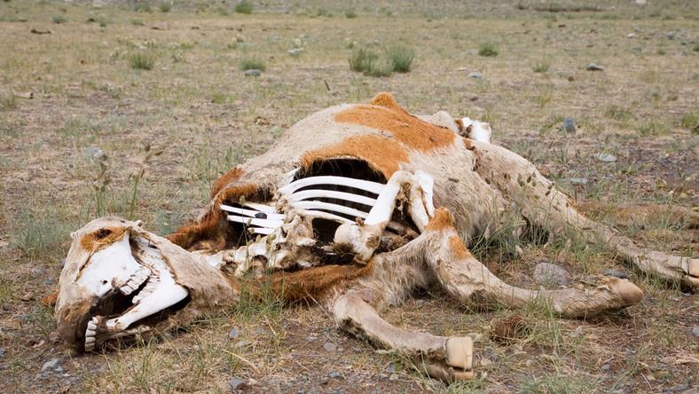 Wstrząsające odkrycie. Zdychające zwierzęta na lubelskiej wsi