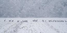 Zima w Polsce zaskoczyła żurawie