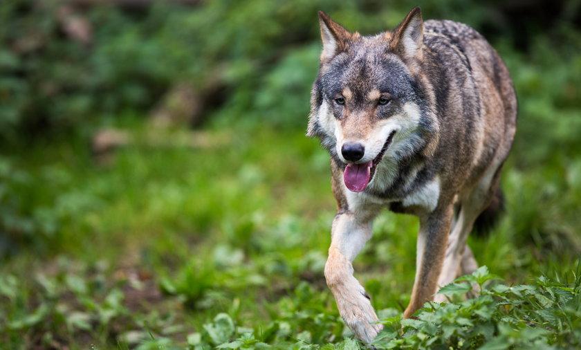 Wilki są pod ścisłą ochroną w Polsce.