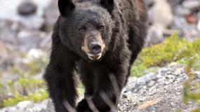 """Alaska: nakarmił niedźwiedzia mięsem z grilla, po czym został zaatakowany; """"ma szczęście, że żyje"""""""