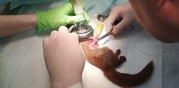 Doktor się spocił jak składał. Wiewiórka skakała i nóżkę złamała