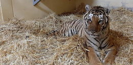 Kolejne kłopoty uratowanych tygrysów. Chodzi o pieniądze