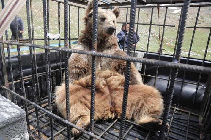 Bears released to the nature in Iraq's Erbil