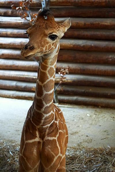 Żyrafa siatkowana Irma