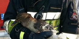 Strażacy uratowali z zamarzniętego jeziora...