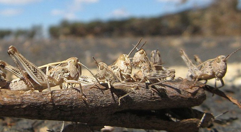 Here're 11 fun and scary facts about desert locusts that will blow your mind and send chills down your spine