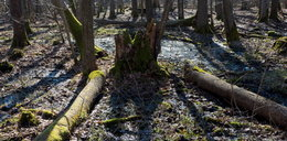 Wycinka drzew w Puszczy Białowieskiej. Ekolodzy protestują