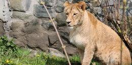 Ankę poznasz po cętkach. Nowa lwica w Śląskim Ogrodzie Zoologicznym.