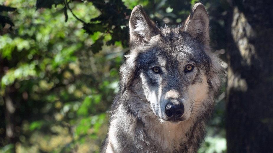 Wilki ze środkowej Europy mają wyjątkową cechę