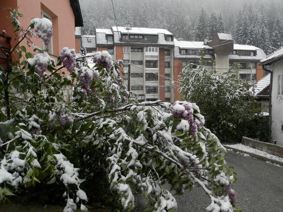 Jorgovan pod majskim snegom