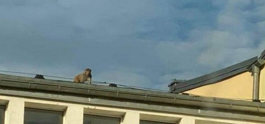 Małpa biega po dachach w Zgorzelcu. Uciekła z drugą małpą na wolność i postawiła policję na nogi. Trwa obława