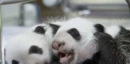 Urodziły się pandy-bliźniaki! FOTY