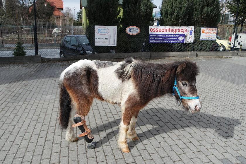 Kucyk z protezą