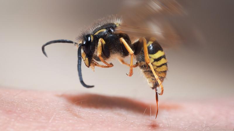 Użądlenie tych owadów boli najbardziej. Ranking najbardziej bolesnych miejsc