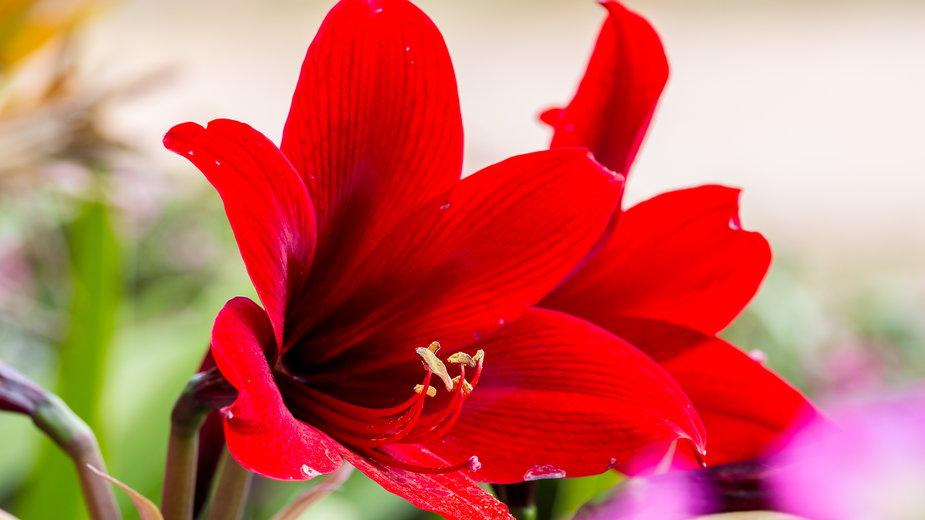Amarylis to roślina o efektownych kwiatach - lamyai/stock.adobe.com