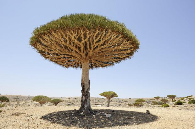 Sokotra - drzewo smocze