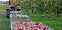 Najlepsze jabłka w Europie rosną pod Warszawą