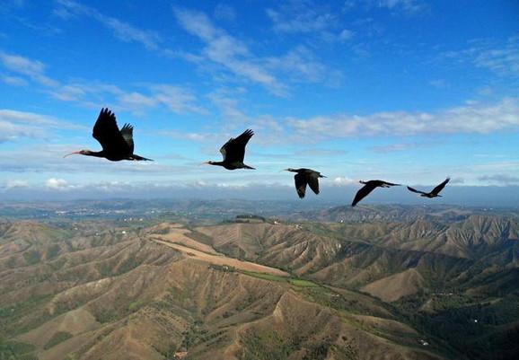 Svaka sledeća ptica u formaciji koristi vazdušne struje prethodne ptice