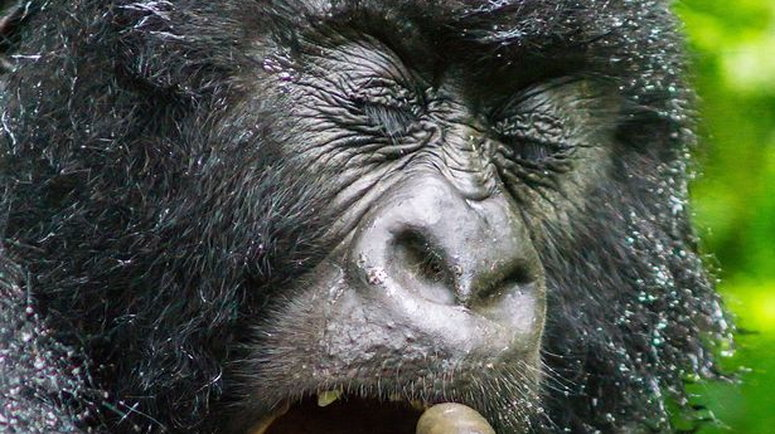 A gorilla has been accused of swallowing money in Kano, now the state wants it back (Illustrative photo. Punch)