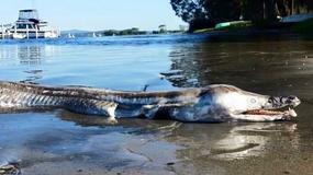 Dziwna ryba, podobna do krokodyla, przestraszyła Australijczyków