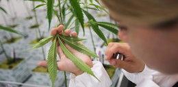 Lekarze z Lublina testują medyczną marihuanę. Pierwsze wnioski