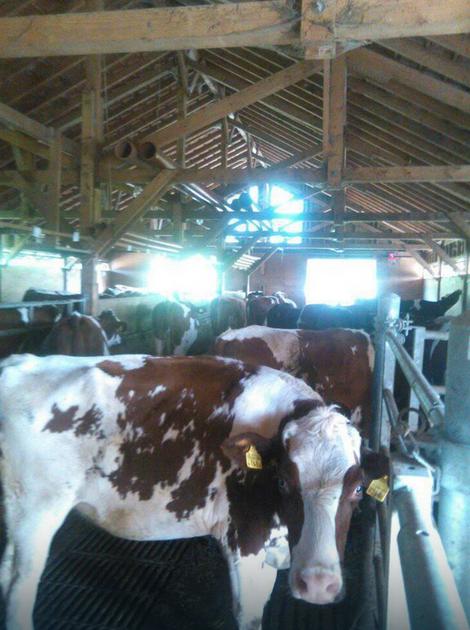 Danijela se u Švajcarskoj bavi - uzgojem krava